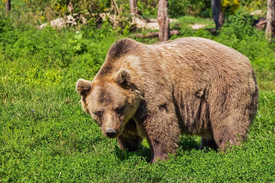 kampta ayı saldırısı